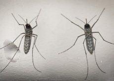 zanzara virus zika