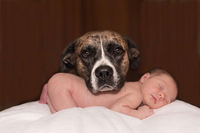 Spesso il cane diventa il protettore del bebè