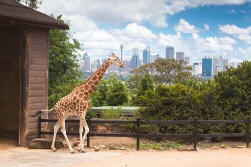 Giraffa nello zoo di New York