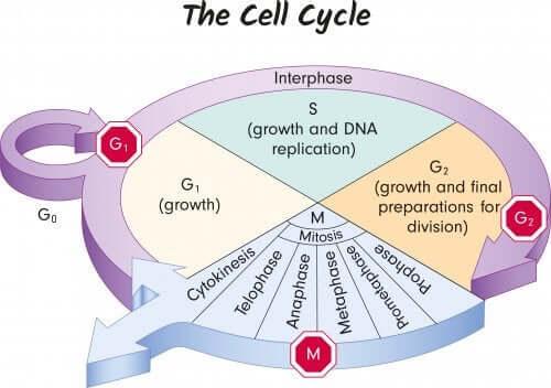 Fasi ciclo cellule genetica