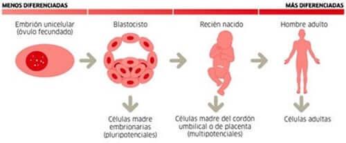 particolare sui tipi di cellule staminali