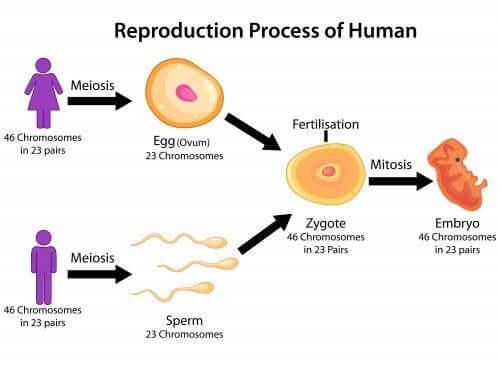 processo di riproduzione fasi della meiosi