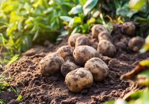 Campo con patate appena raccolte